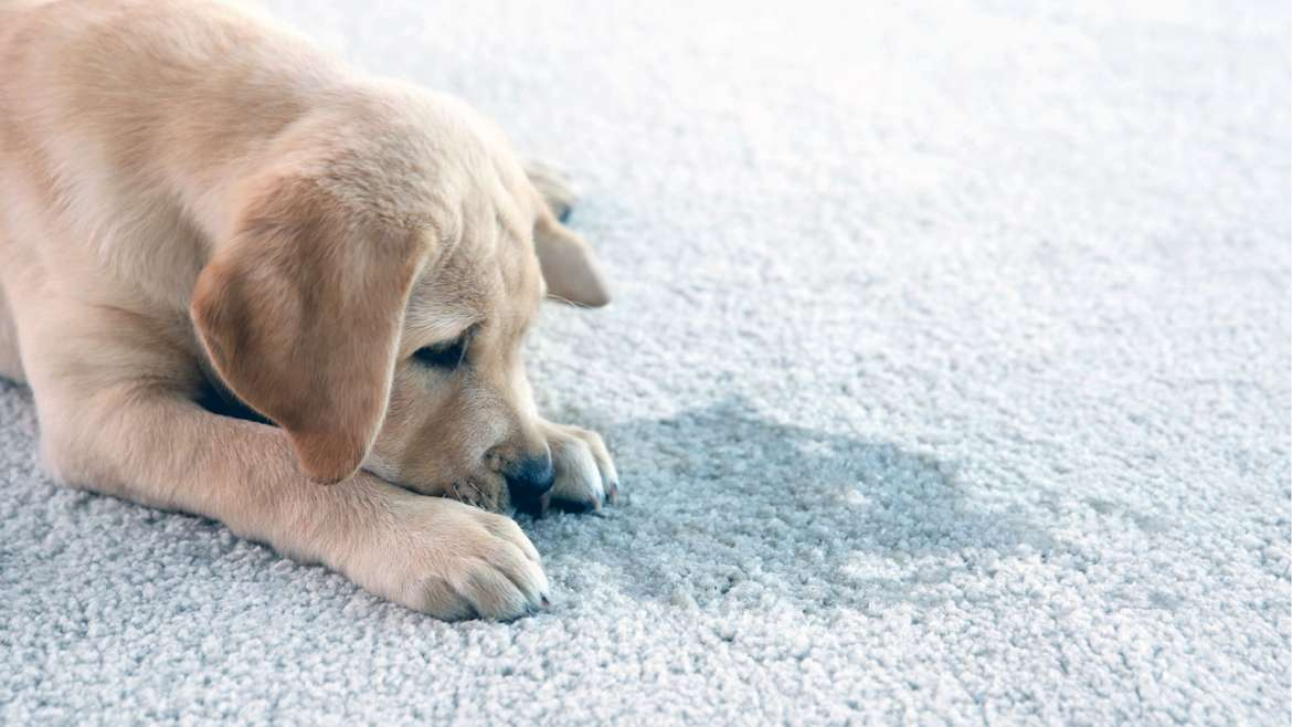 Remove Pet Urine From Carpet